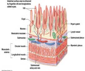 true layers of the gastrointestinal tract picture 19