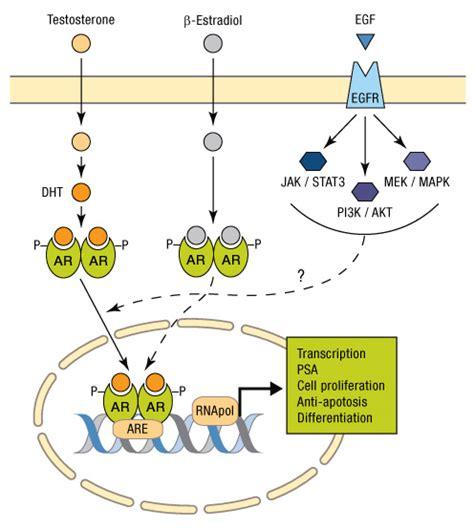 testosterone estrogen receptor picture 11