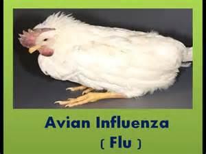bird flu muscle disease picture 7