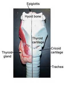 thyroid from sheep picture 7