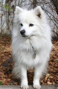 joint problems in american eskimo picture 9