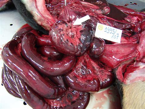 intestinal m picture 1
