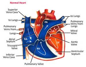 blood flow to h picture 10