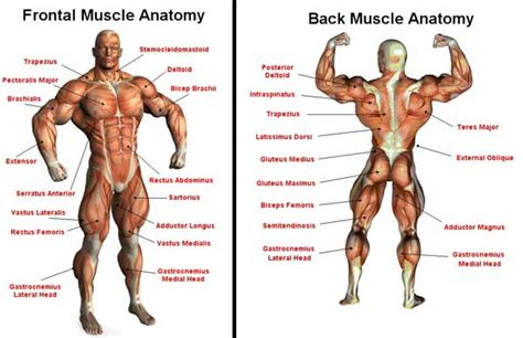 muscle building in horses picture 6