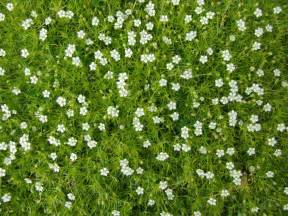 white irish moss picture 11