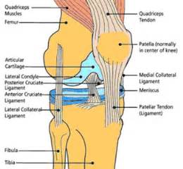 muscles around the knee joint picture 5