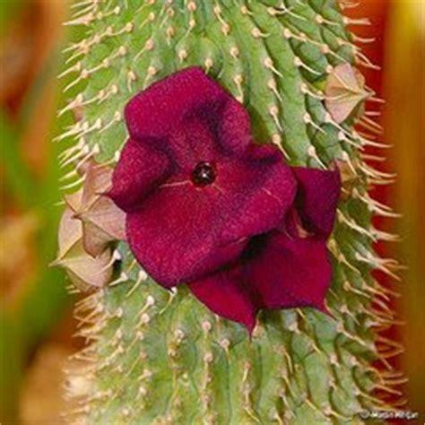 african hoodia cactus picture 17