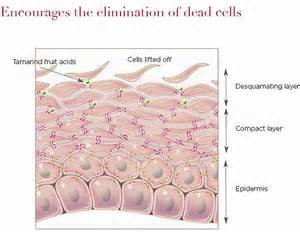 skin cell diagrams picture 5