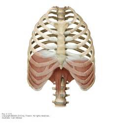 diaphram muscle for breathing picture 3