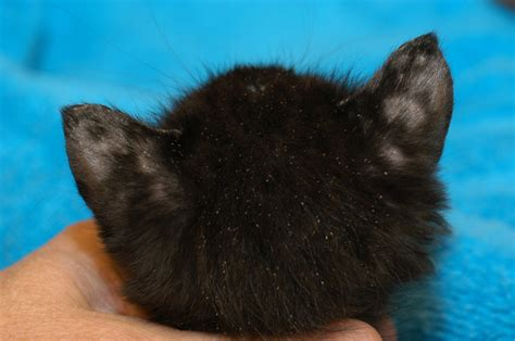 hair loss in kittens picture 9