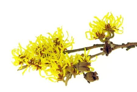 witch hazel on genital herpes picture 1