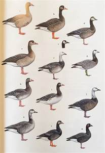 do geese have h picture 14
