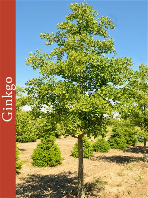 ginkgo tree facts picture 6