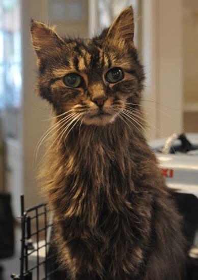 feline hyperthyroidism picture 18