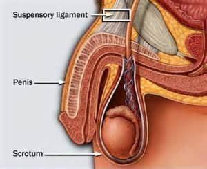 blood flow to the penis diagram picture 7