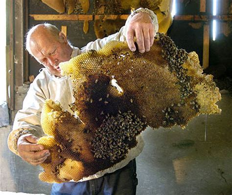 how many queen bees in a hive picture 2