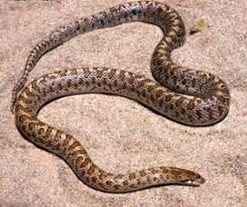 california glossy snake diet picture 1