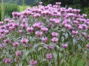 herbal medicine lavender picture 1
