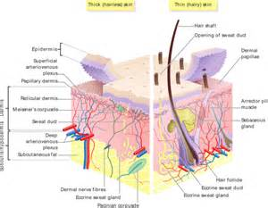 dermal layer of skin picture 11