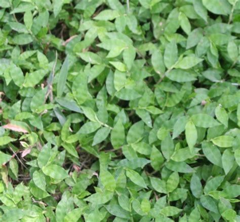 scientific name for a dandelion picture 7