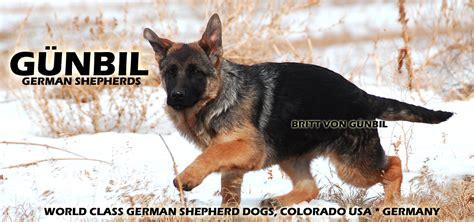 gunbil german shepherds complaints picture 3