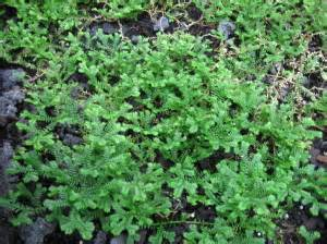 chinese club moss picture 11