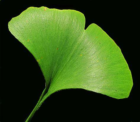 ginkgo leaf picture 5
