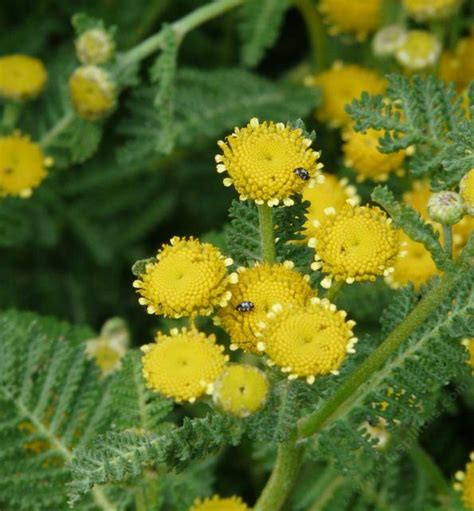 tansy herb in philippines picture 14