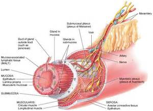 true layers of the gastrointestinal tract picture 1