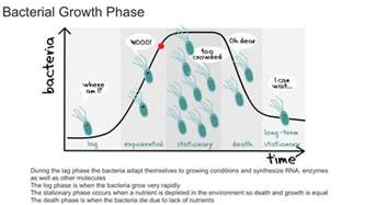 phases for bacterial growth picture 1