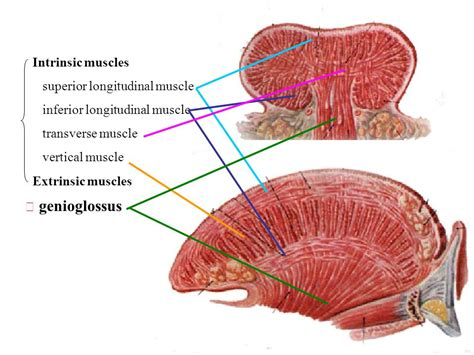 longitudinal muscle picture 2