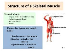 functions of muscle system picture 2