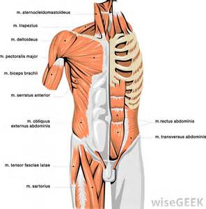 agonist and antagonist muscles list picture 17