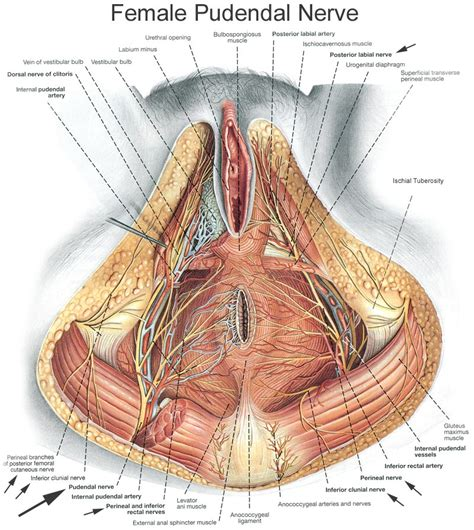 nerves found in the penis and ball sack picture 6