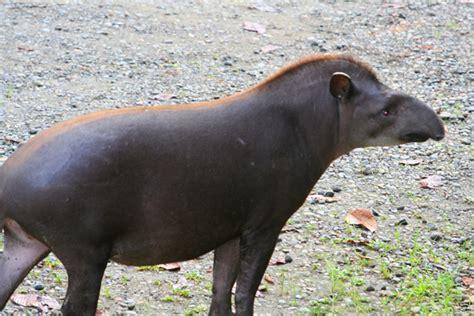 tapir sex picture 11