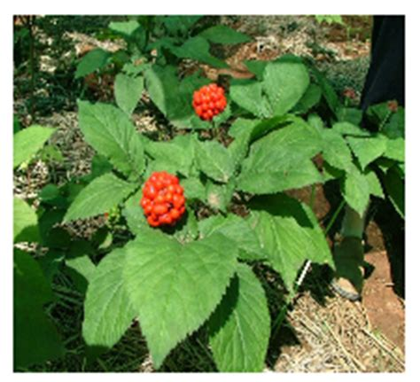 ginseng libido picture 9