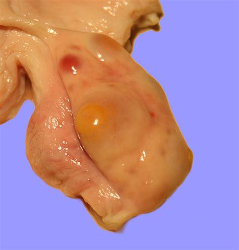 bovine ovary male to female picture 10