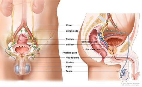 nerves found in the penis and ball sack picture 7
