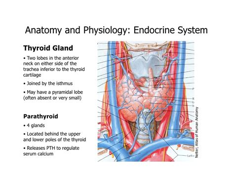 anatomy thyroid picture 5