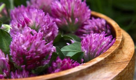 red clover tea picture 1