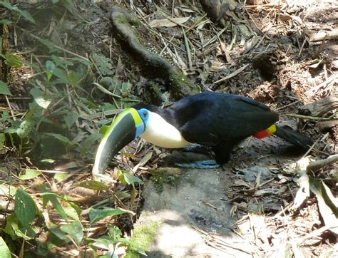 diet of a toucan picture 5