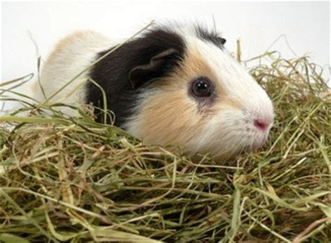 breast actives guinea pig picture 5