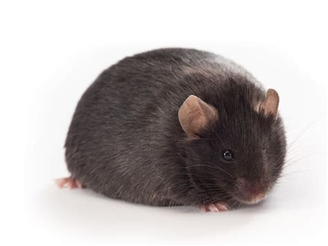 cholesterol studies in rats picture 17