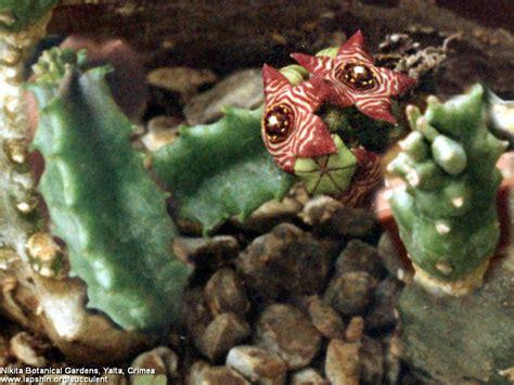 caralluma fimbriata exhibit 9 picture 7