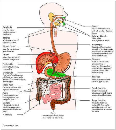 Gastrointestinal system picture 7