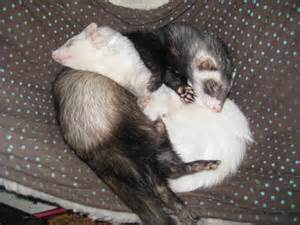 pictures of ferrets sleeping picture 1