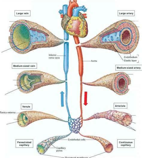 anatomy and physiology of blood circulation picture 5