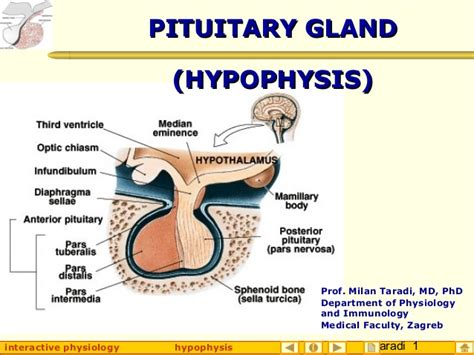 anterior pituitary gland picture 6