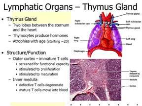 thymus gland picture 10