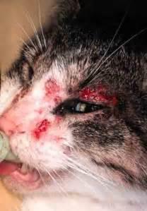 feline skin allergies picture 2
